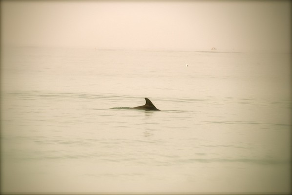 Siesta Key – Dolphins